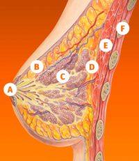 anatomia mamografia
